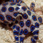 Mavi halkalı ahtapot