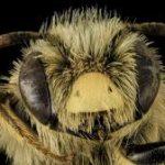 afrika katil bal arıları